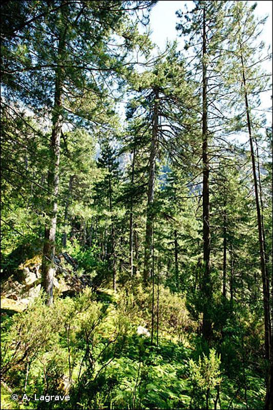 9530-2 - Pinèdes (sub-)méditerranéennes de pins noirs endémiques : <em>Pinus nigra</em> subsp. <em>laricio</em> var. <em>corsicana</em> - Cahiers d'habitats