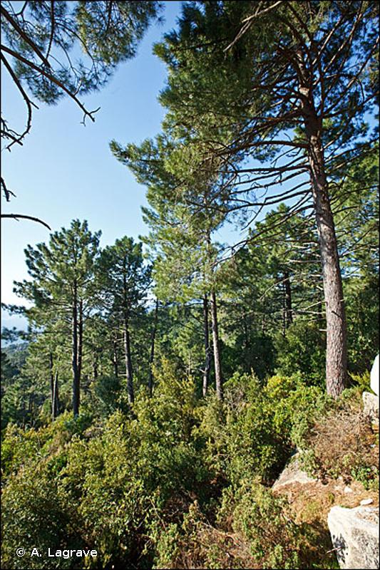 42.8 - Bois de Pins méditerranéens - CORINE biotopes