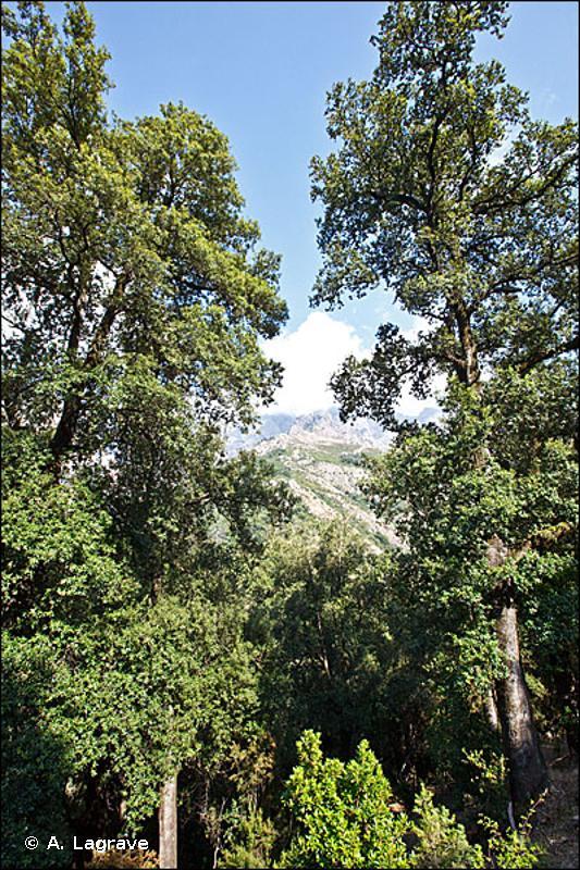 9340-1 - Yeuseraies matures à Épipactis à petites feuilles - Cahiers d'habitats