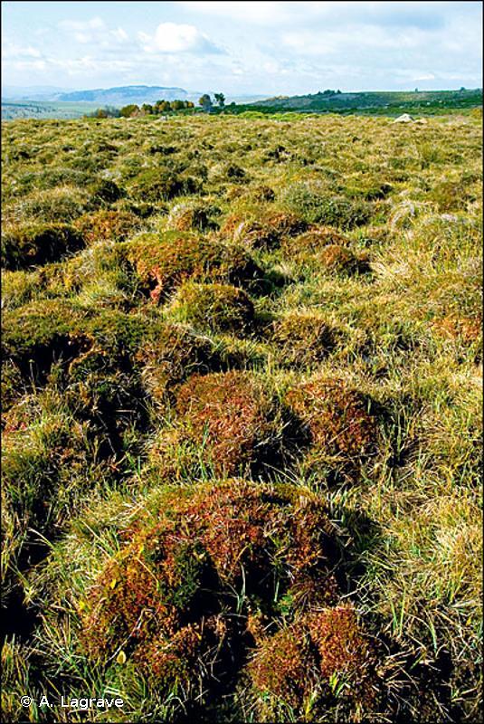 51.111 - Buttes de Sphaignes colorées (bulten) - CORINE biotopes