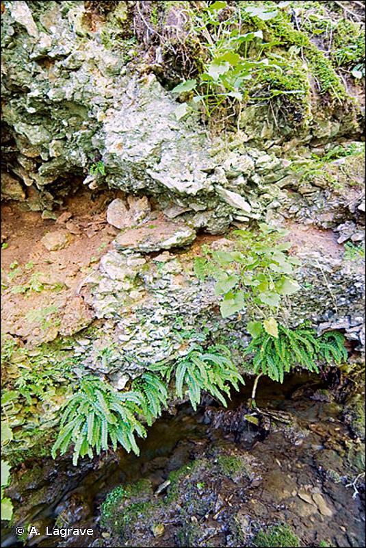 62.152 - Falaises calcaires médio-européennes à Fougères - CORINE biotopes