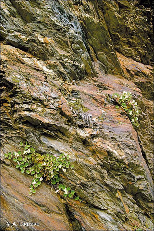 8220 - Pentes rocheuses siliceuses avec végétation chasmophytique - Cahiers d'habitats
