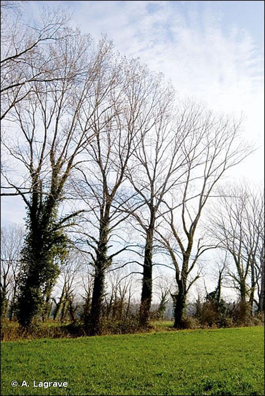 84 - Alignements d'arbres, haies, petits bois, bocage, parcs - CORINE biotopes