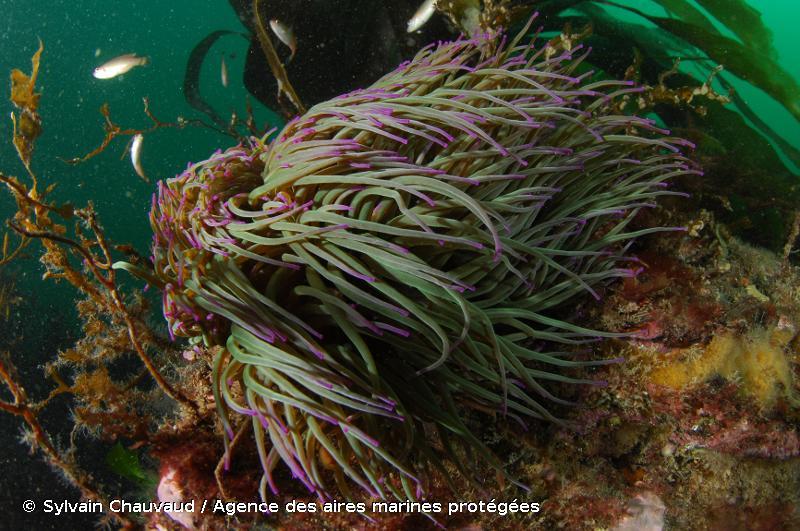 Anemonia viridis