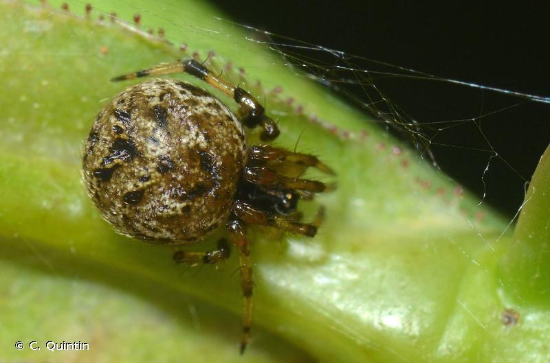 Dipoena melanogaster