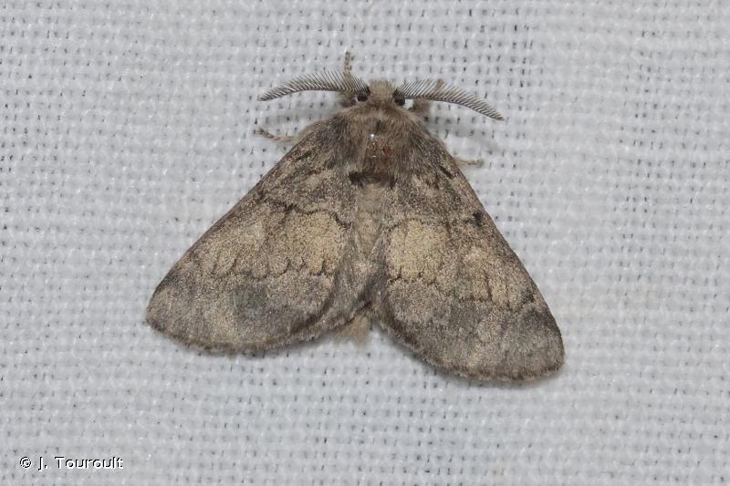 Gluphisia crenata