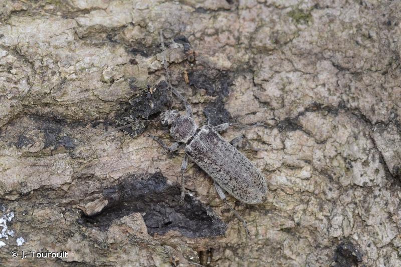 Trichoferus holosericeus