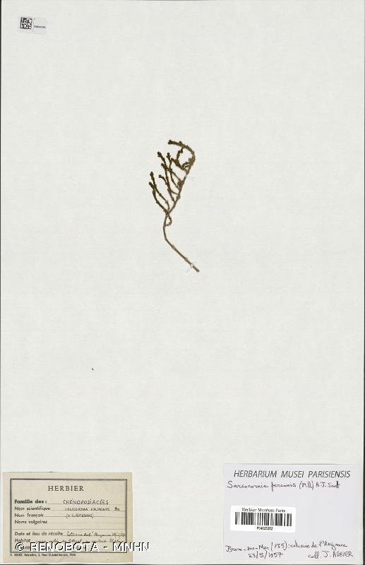 Sarcocornia perennis