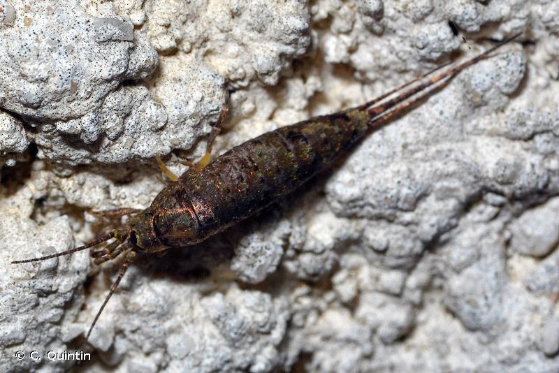 Trigoniophthalmus alternatus