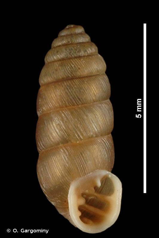 Abida pyrenaearia