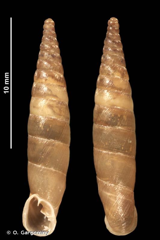 Cochlodina meisneriana adjaciensis