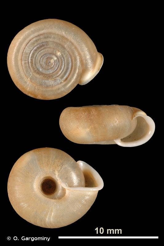 Helicodonta angigyra