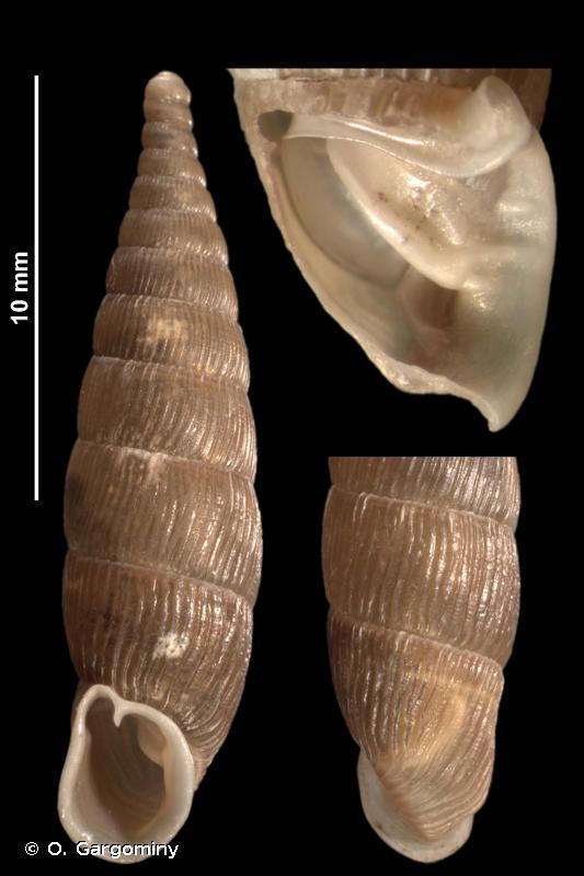 Macrogastra ventricosa