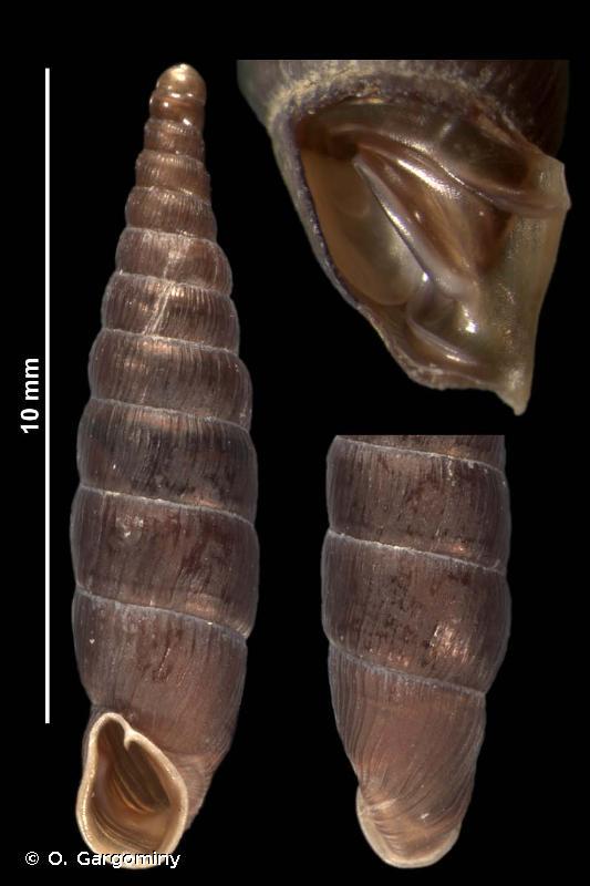 Neostyriaca corynodes