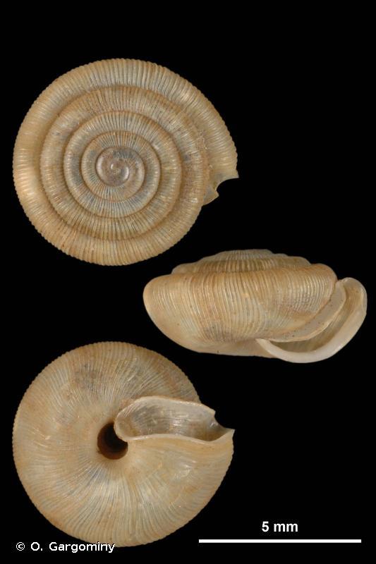 Trissexodon constrictus