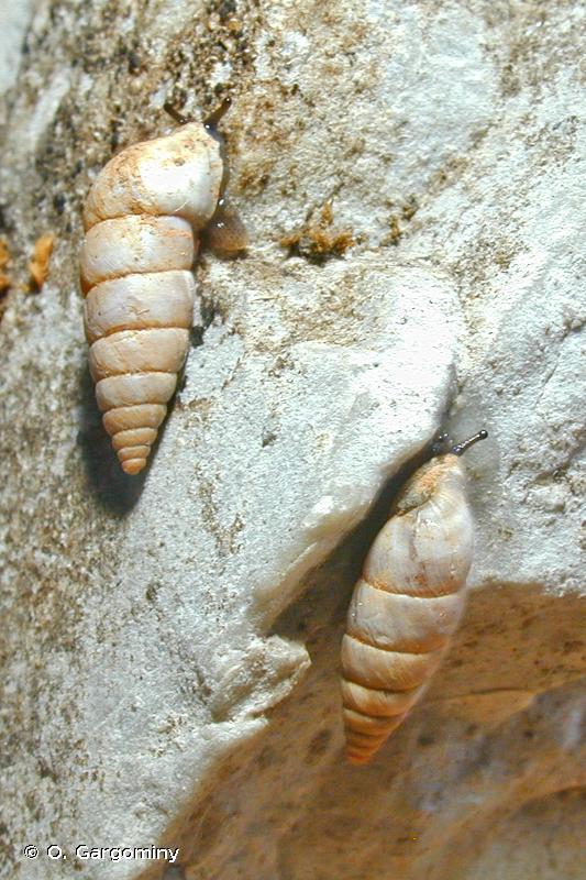 Solatopupa guidoni