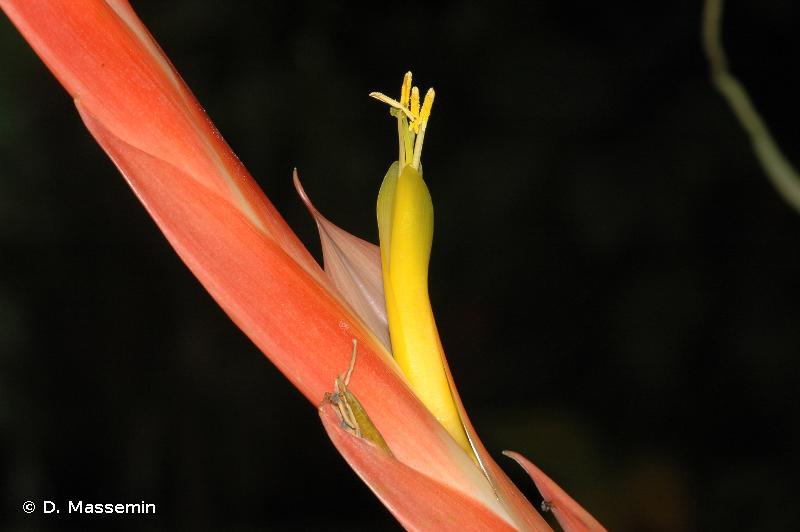 Lutheria splendens
