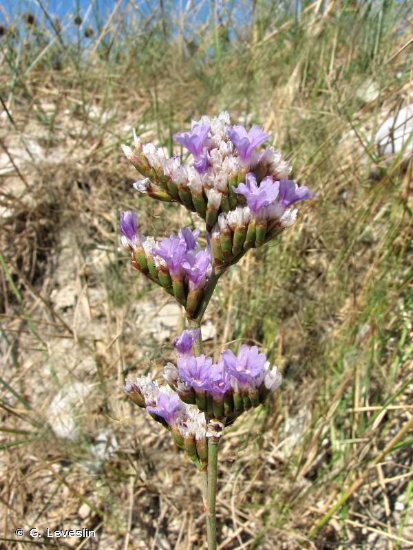 Limonium vulgare