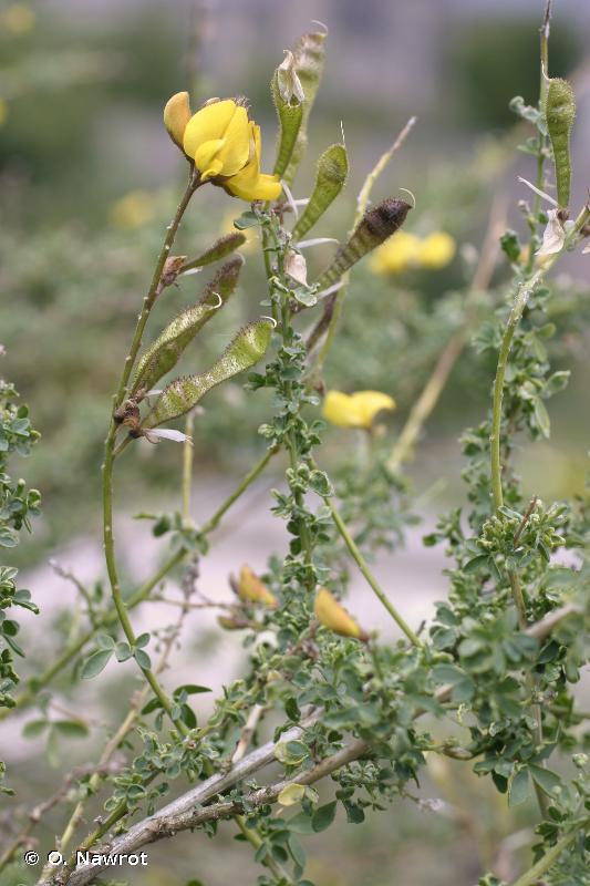 Adenocarpus complicatus subsp. complicatus