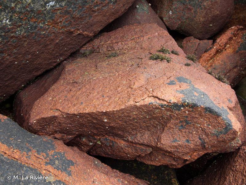 Hildenbrandia rubra