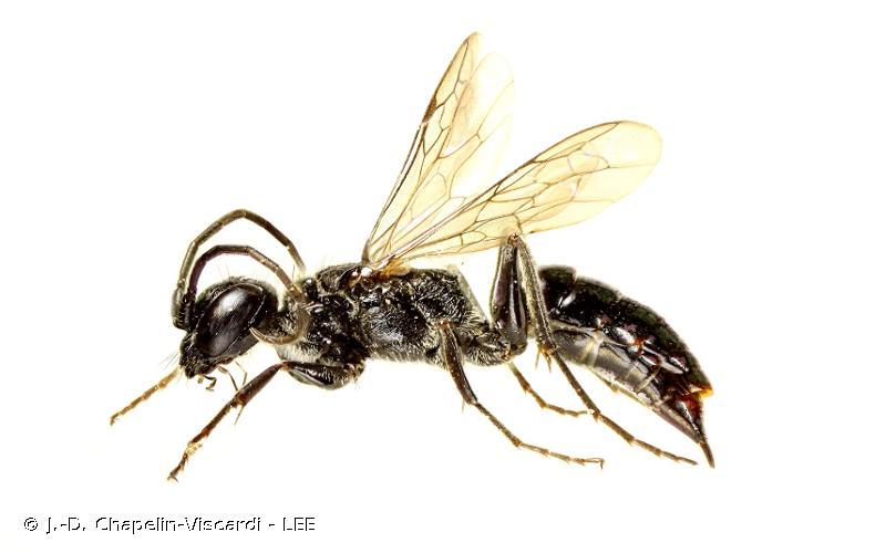 Dolichurus corniculus