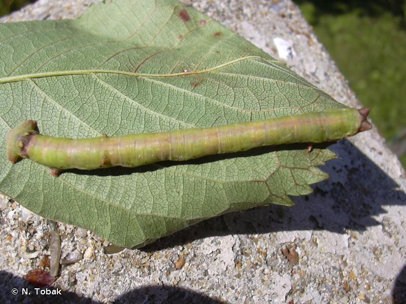 Biston betularia