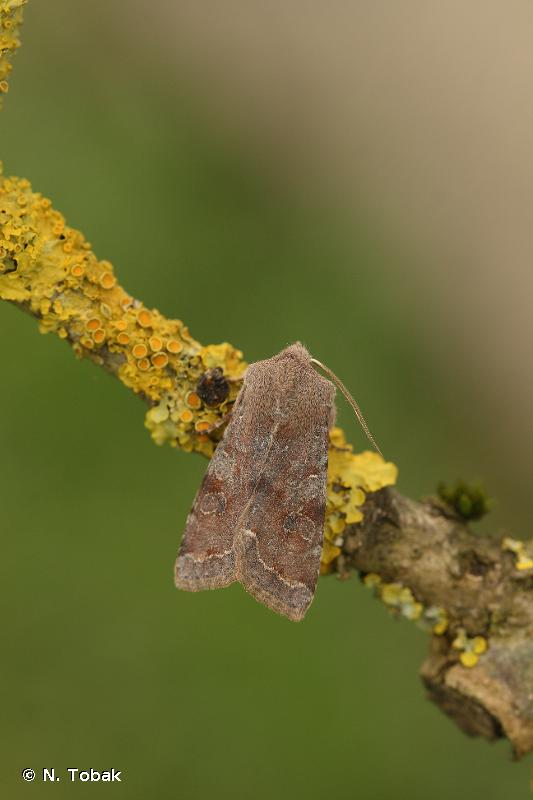 Orthosia incerta