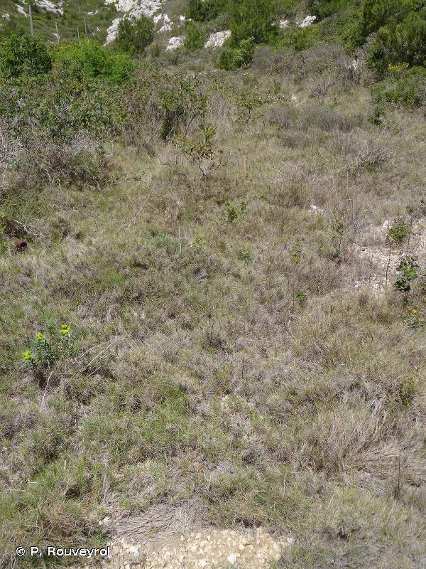6220-1 - Ourlets méditerranéens mésothermes à Brachypode rameux de Provence et des Alpes-Maritimes - Cahiers d'habitats