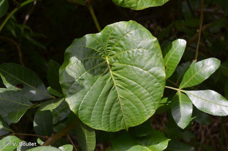 Decalobanthus peltatus