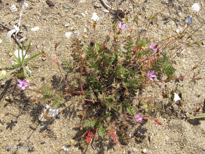 Erodium cicutarium subsp. bipinnatum