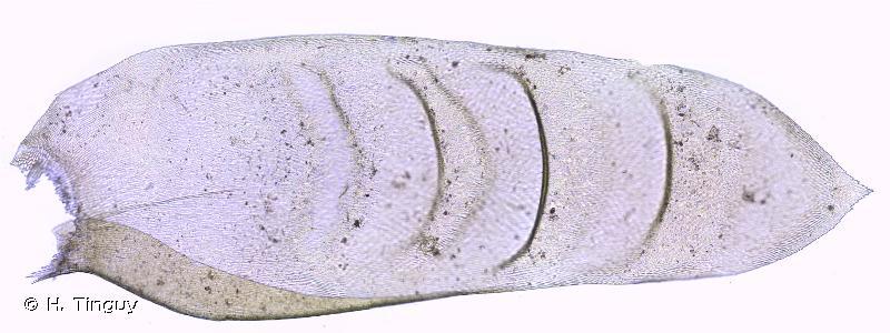 Exsertotheca crispa