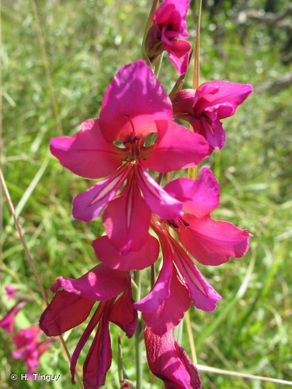 Gladiolus dubius