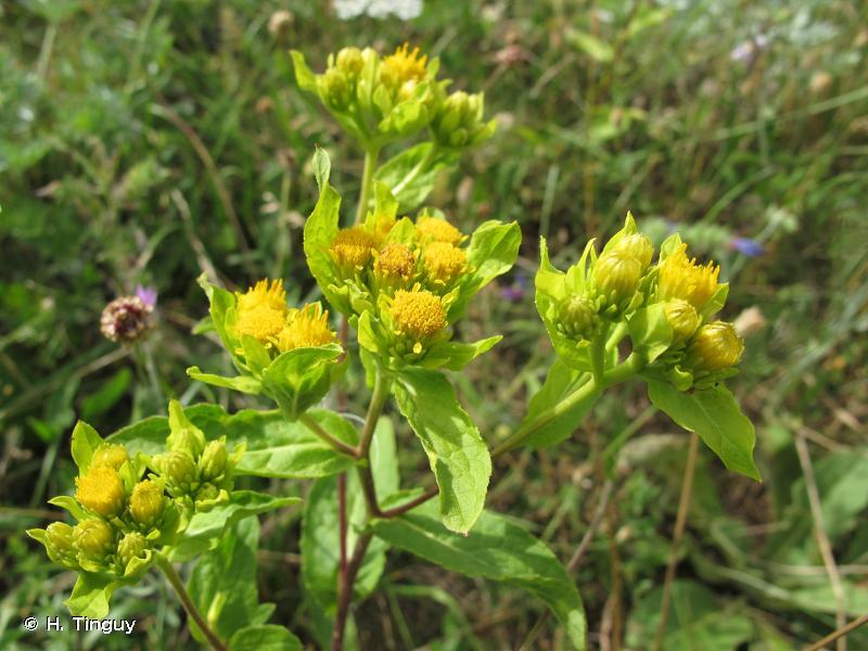 Inula bifrons