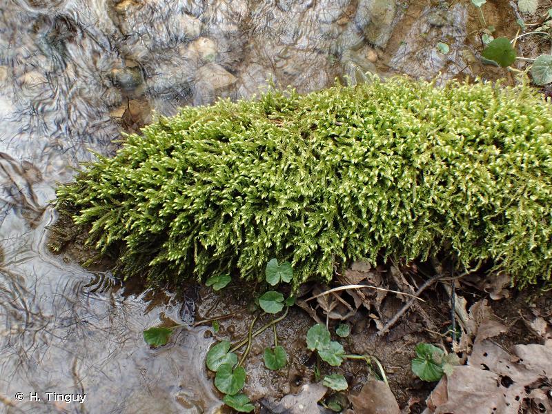 Rhynchostegium riparioides