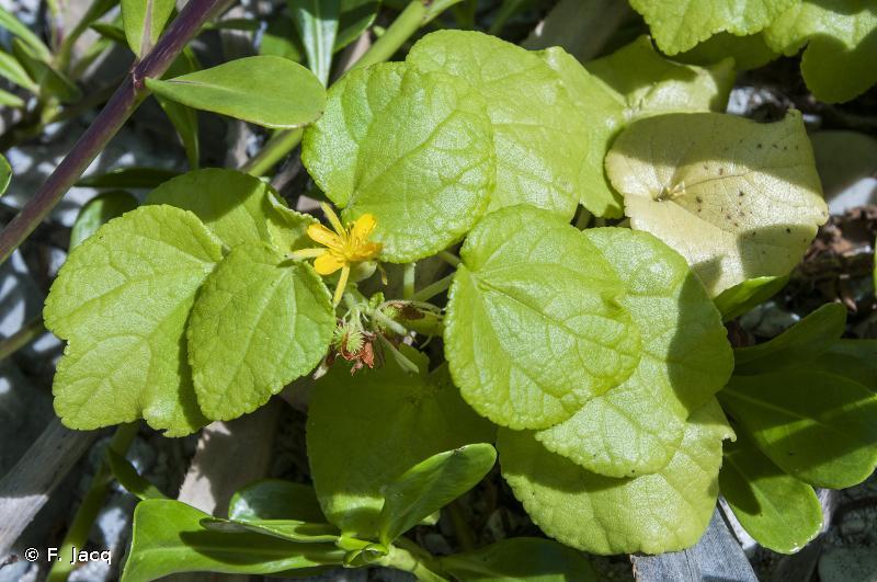 Triumfetta procumbens