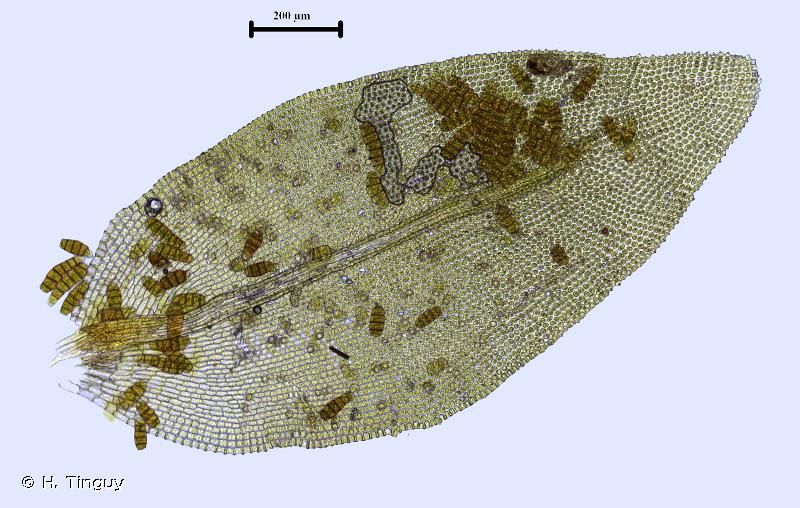 Nyholmiella obtusifolia