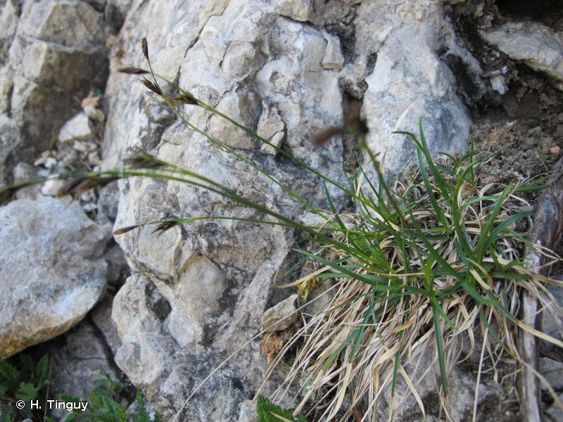 Carex austroalpina