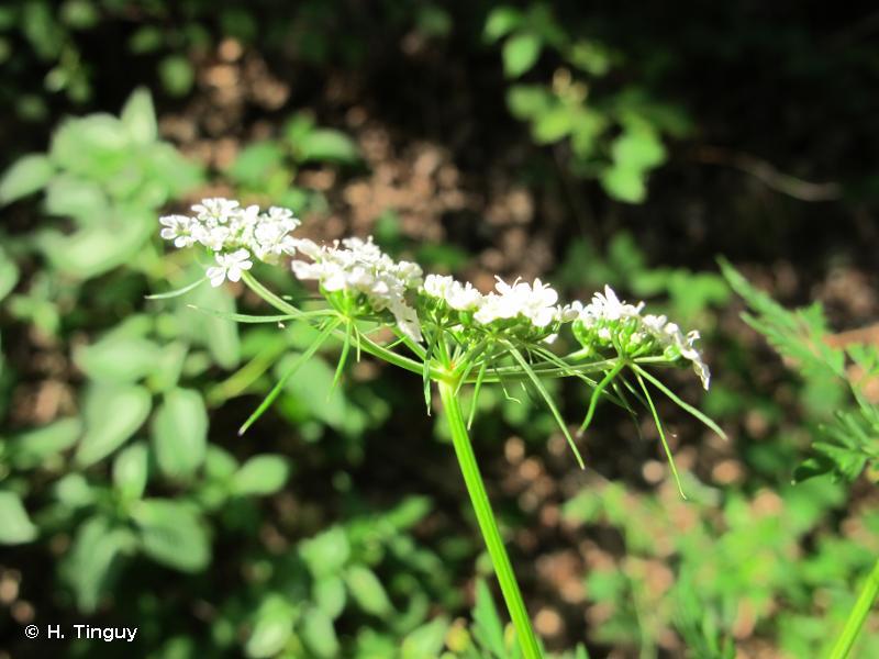Aethusa cynapium subsp. elata
