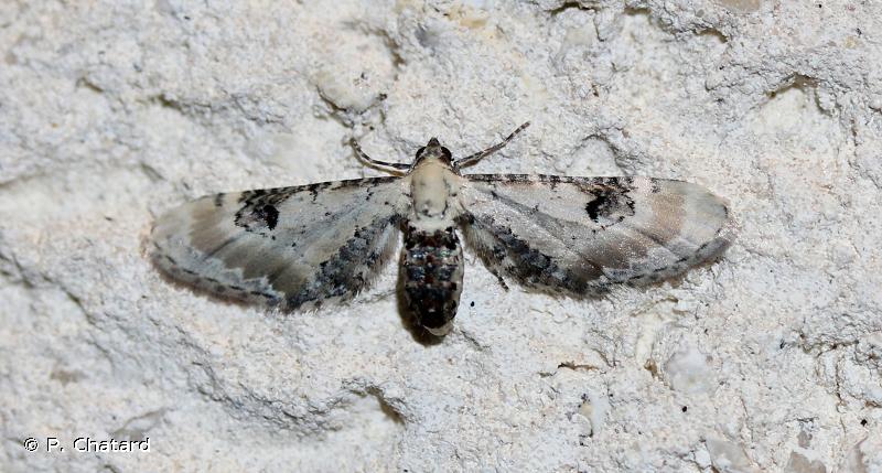 Eupithecia centaureata