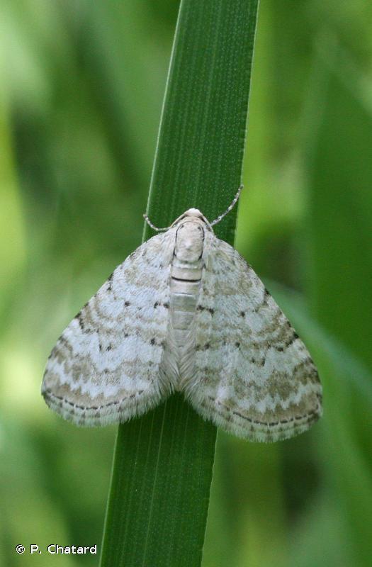 Perizoma albulata