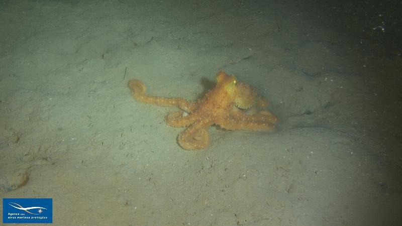 Octopus salutii