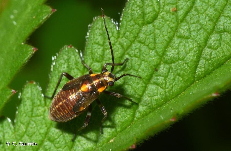 Capsodes flavomarginatus
