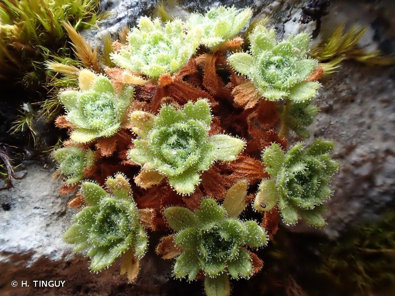 Saxifraga cebennensis