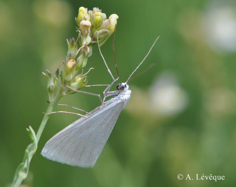 Gypsochroa renitidata