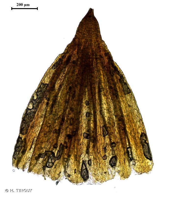 Orthotrichum pumilum