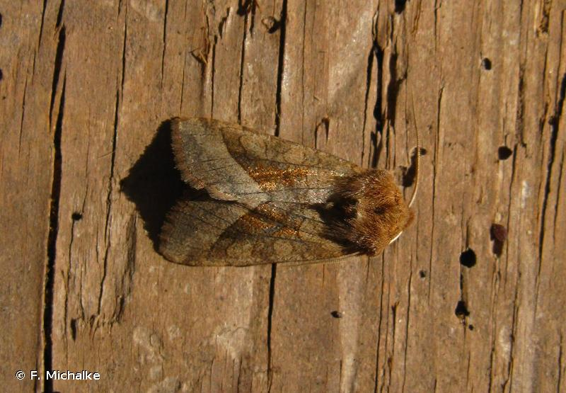 Hydraecia micacea