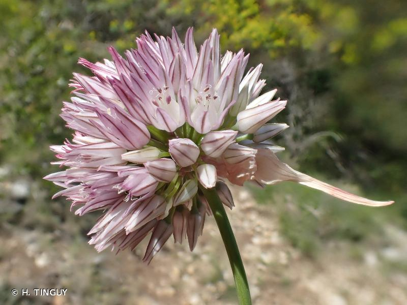 Allium acutiflorum