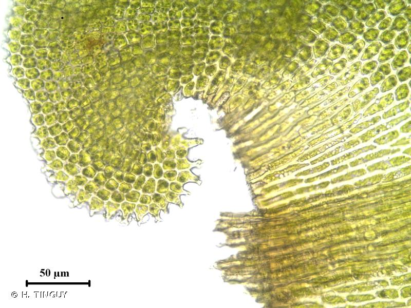 Anomodon rugelii