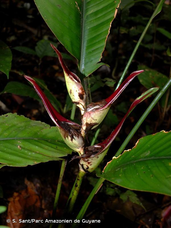 Heliconia lourteigiae