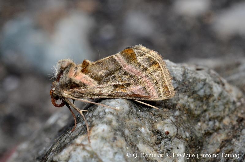 Euchalcia variabilis